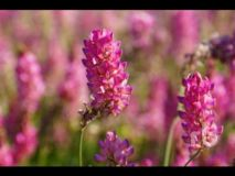 SAINFOIN Common Forage Certified Organic See